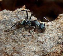 Camponotus cinctellus httpsuploadwikimediaorgwikipediacommonsthu