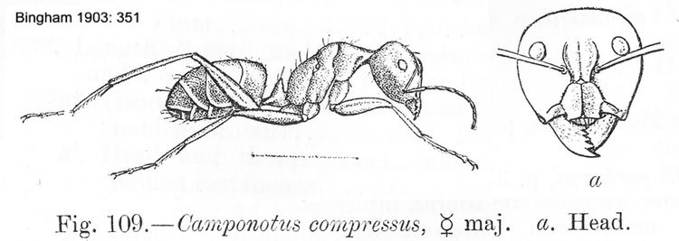 Camponotus compressus Miscellaneous Ants from Europe amp the Middle East