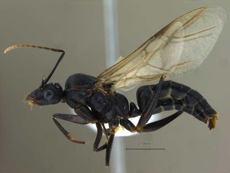 Camponotus compressus Formicidae Formicinae Camponotus compressus male