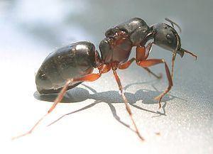 Camponotus compressus Camponotus compressus Wikipedia