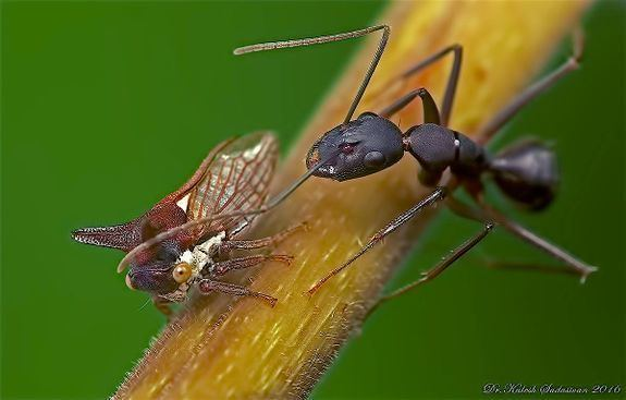 Camponotus compressus Camponotus compressus AntWiki