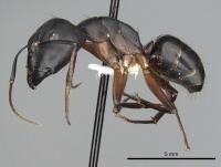 Camponotus compressus wwwantwikiorgwikiimagesthumb003Camponotus