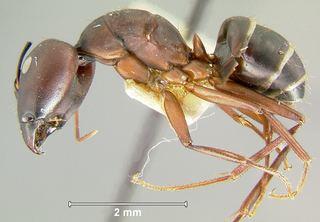 Camponotus compressus Camponotus compressus Fabricius 1787 Discover Life