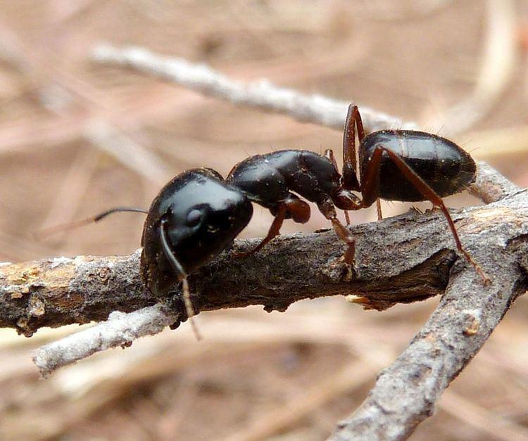 Camponotus empedocles