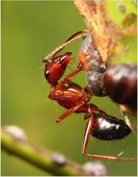 Camponotus floridanus hymenopteragenomeorgcamponotussiteshymenoptera