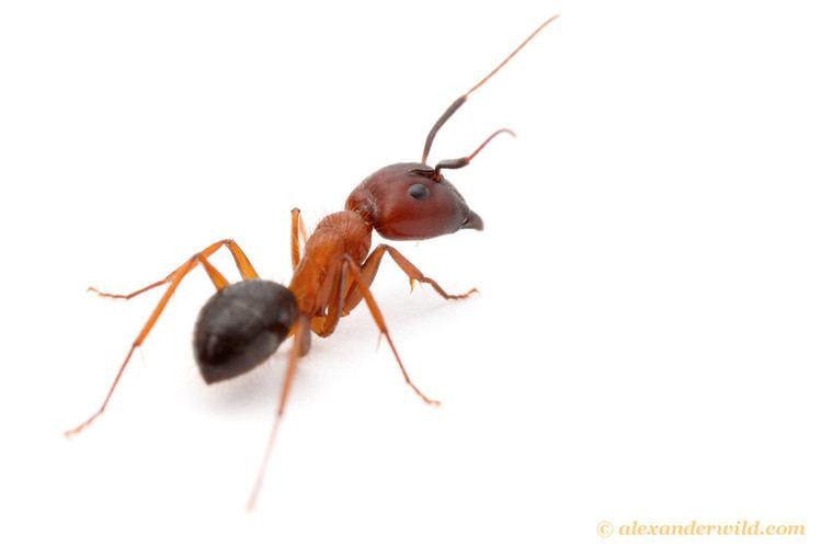 Camponotus floridanus Alex Wild Photography Photo Keywords camponotus floridanus
