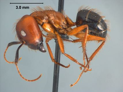 Camponotus floridanus Camponotus Myrmothrix floridanus Buckley