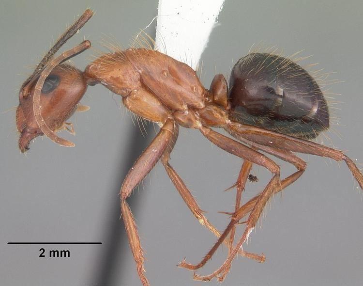 Camponotus floridanus FileCamponotus floridanus casent0103673 profile 1jpg Wikimedia