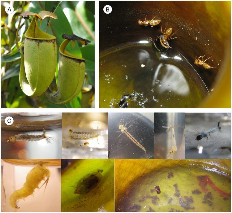 Camponotus schmitzi FileNepenthes bicalcarata Camponotus schmitzi and fly larvaepng