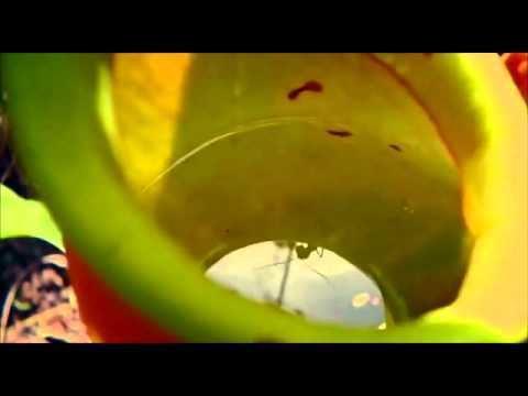 Camponotus schmitzi Camponotus schmitzi YouTube