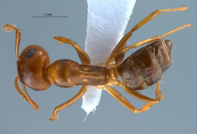 Camponotus schmitzi Formicidae Formicinae Camponotus schmitzi