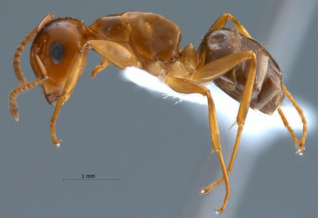 Camponotus schmitzi Formicidae Formicinae Camponotus schmitzi Strcke 1933