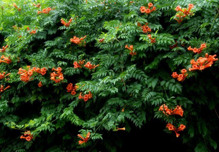 Campsis grandiflora Aliexpresscom Buy Fast growing Campsis Grandiflora Seeds 100pcs