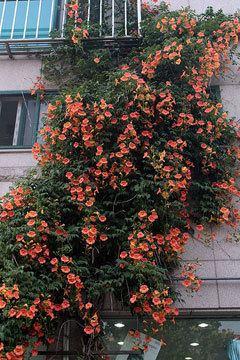 Campsis grandiflora Campsis grandiflora Trumpet Creeper PFAF Plant Database
