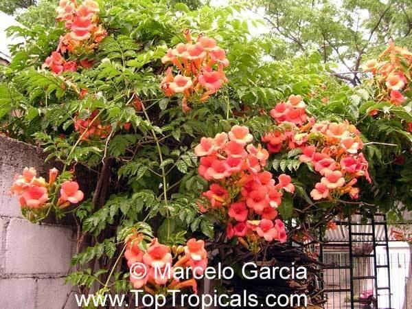 Campsis grandiflora Campsis grandiflora Bignonia grandiflora Campsis chinensis