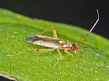 Campyloneura virgula httpsuploadwikimediaorgwikipediacommonsthu