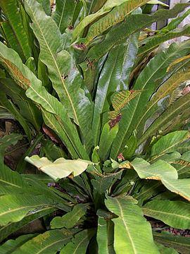 Campyloneurum Campyloneurum phyllitidis Wikipedia