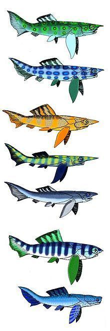 Camuropiscidae httpsuploadwikimediaorgwikipediacommonsthu