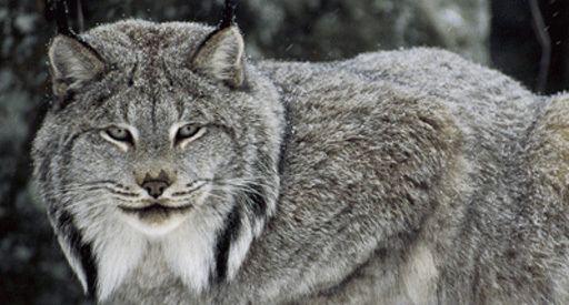 Canada lynx OFWO Canada lynx