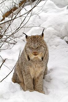 Canada lynx httpsuploadwikimediaorgwikipediacommonsthu