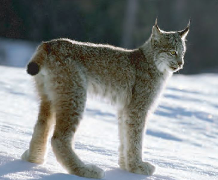 Canada lynx Animal Facts Canada Lynx Canadian Geographic