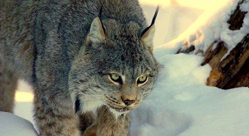 Canada lynx Canada Lynx Basic Facts About Canada Lynx Defenders of Wildlife