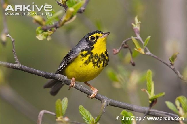 Canada warbler Canada warbler videos photos and facts Wilsonia canadensis ARKive