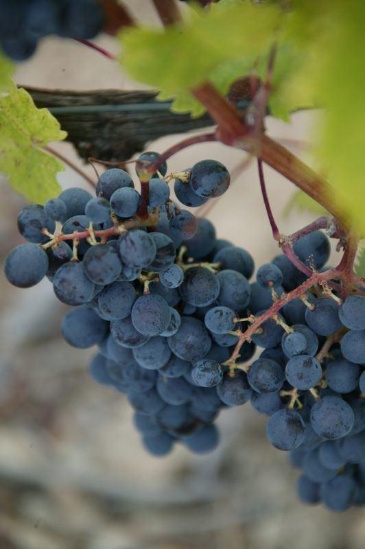 Canaiolo Canaiolo Nero Banfi Wines