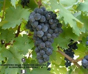 Canaiolo Canaiolo Wine Information