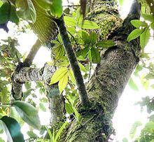 Canarium asperum httpsuploadwikimediaorgwikipediacommonsthu