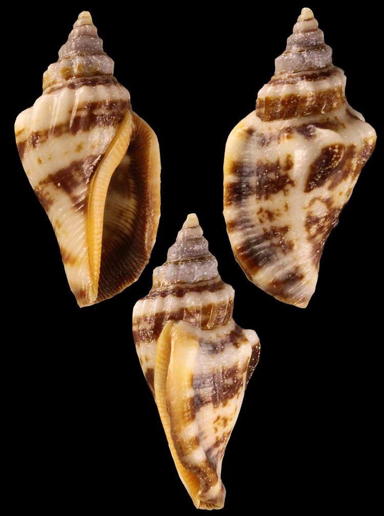 Canarium labiatum Gastropoda Stromboidea People Frank Nolf