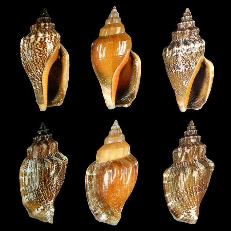 Canarium labiatum Gastropoda Stromboidea Species Canarium Labiatum