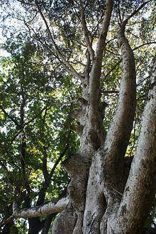 Canarium zeylanicum httpsuploadwikimediaorgwikipediacommonsthu