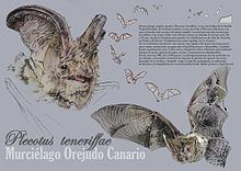 Canary big-eared bat httpsuploadwikimediaorgwikipediacommonsthu