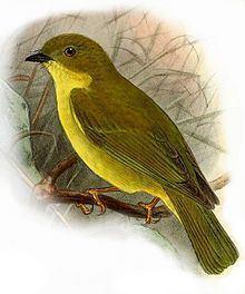 Canary flyrobin httpsuploadwikimediaorgwikipediacommonsthu
