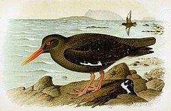 Canary Islands oystercatcher httpsuploadwikimediaorgwikipediacommonsthu