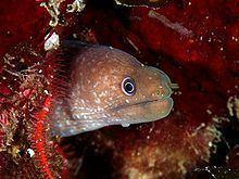 Canary moray httpsuploadwikimediaorgwikipediacommonsthu