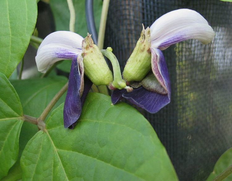 Canavalia napaliensis