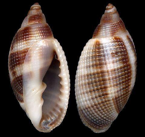 Cancellaria Shell Catalogue Family CANCELLARIIDAE