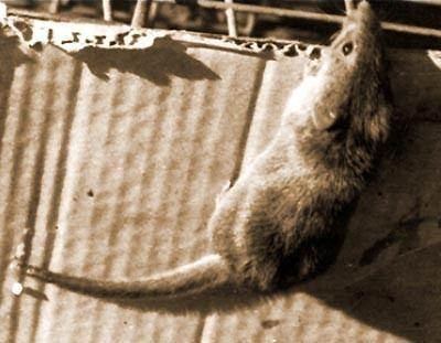 Candango mouse wwwplanetmammiferesorgPhotosRongeurMyomoSig