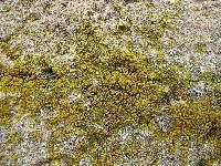 Candelariella aurella CNALH Candelariella aurella