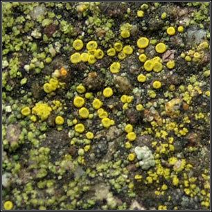 Candelariella aurella Irish lichens Candelariella aurella