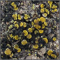 Candelariella aurella Lichen Candelariella aurella