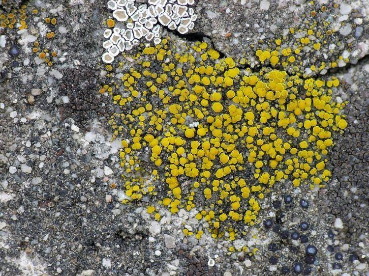 Candelariella aurella Image Candelariella aurella Eggyolk Lichen BioLibcz