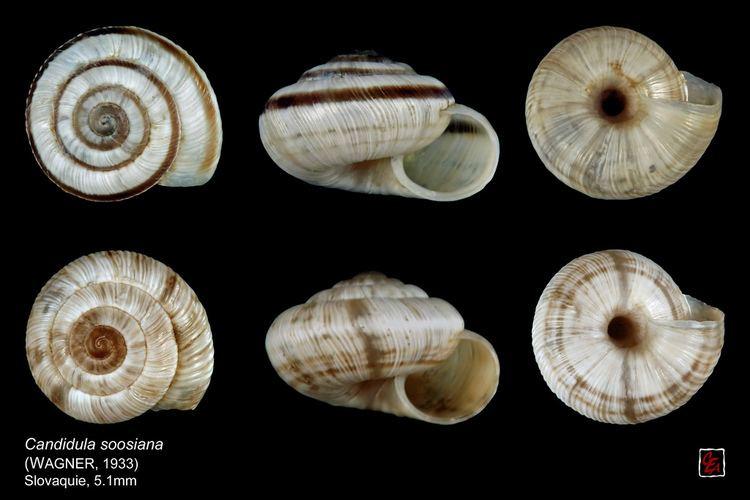 Candidula candidula soosiana planche slovaquie Hygromiidae Hygromiin Flickr