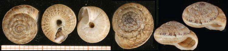Candidula AnimalBase Candidula intersecta species homepage