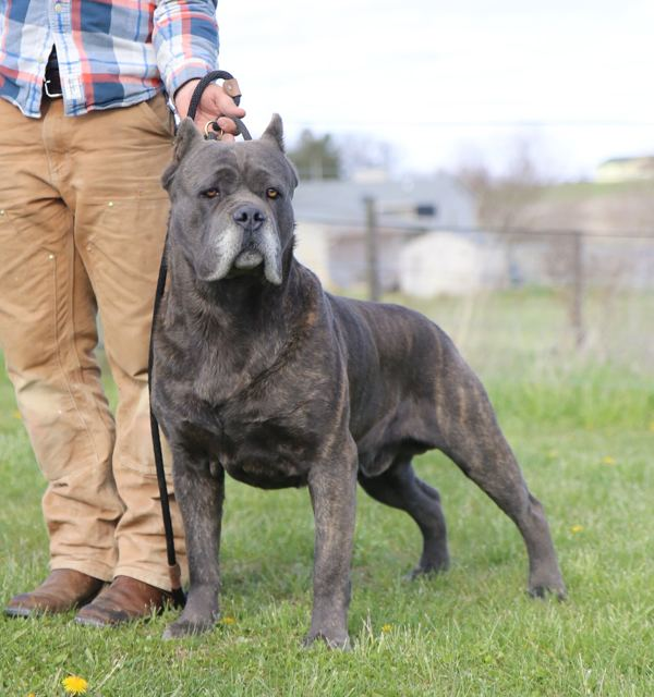 Cane Corso Alchetron The Free Social Encyclopedia