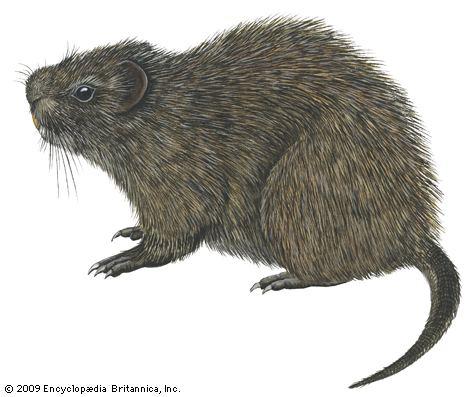 Cane Rat Alchetron The Free Social Encyclopedia