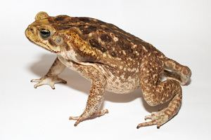 Cane toad Cane Toad AZ of pest animals Pest animals Pests diseases and