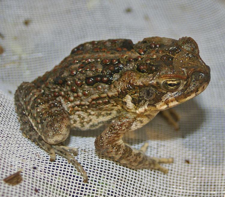 Cane toad httpsuploadwikimediaorgwikipediacommonscc